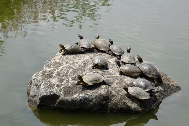 クサガメ 飼育方法