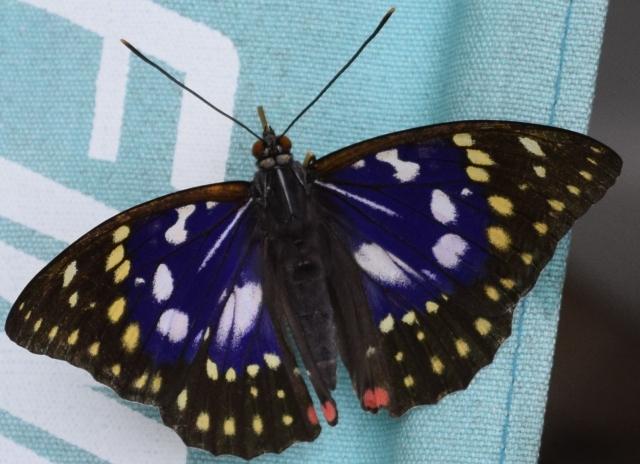 オオムラサキ 幼虫