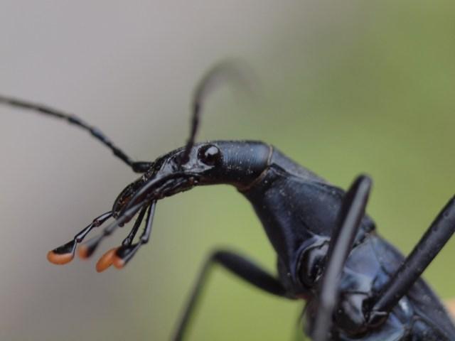 マイマイカブリ 幼虫