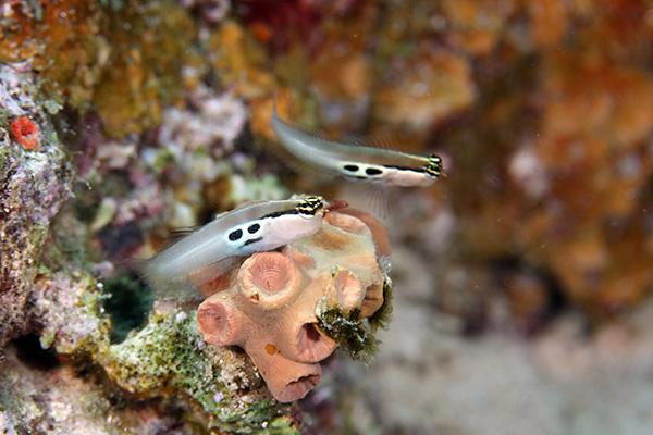 カエルウオ 種類