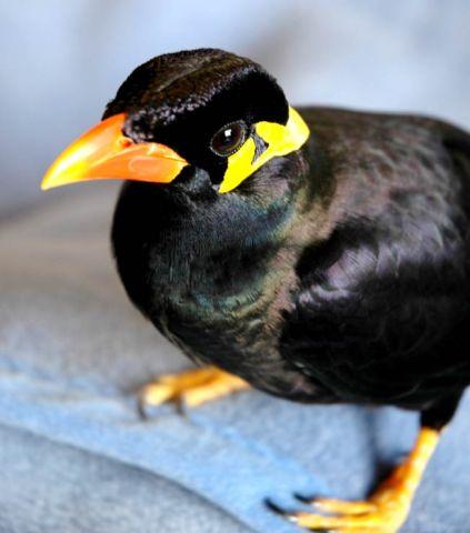 九官鳥 飼育