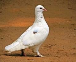銀鳩 飼育