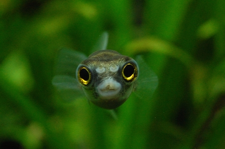 南米淡水フグ 飼育