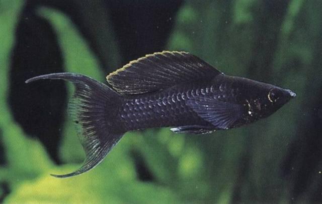 ブラックモーリー 混泳