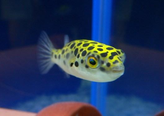 淡水フグ 種類