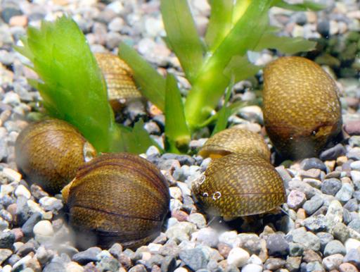 石巻貝 繁殖