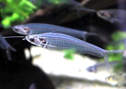 トランスルーセントグラスキャット 飼育 繁殖 寿命 餌