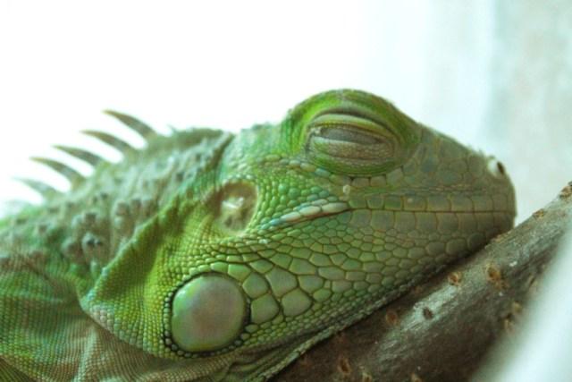 グリーンイグアナ 爬虫類