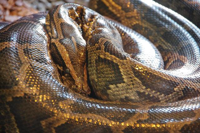 アミメニシキヘビ 飼育