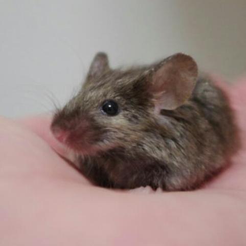 ファンシーマウス 飼育