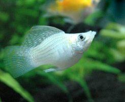 バルーンモーリー 稚魚 飼育