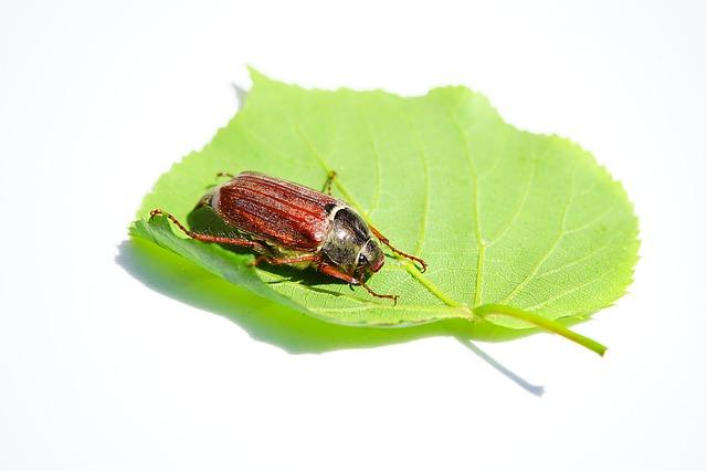 コガネムシ 茶 黒 虹色 幼虫 鳴き声 仲間