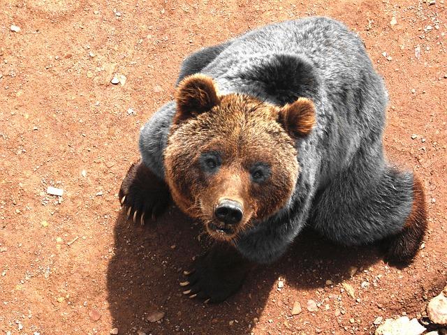 グリズリー 大きさ 体重 寿命 動物園 ヒグマとの違い