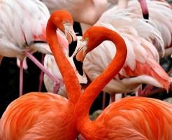 フラミンゴ 語源 性格 生息地 鳴き声 赤い理由