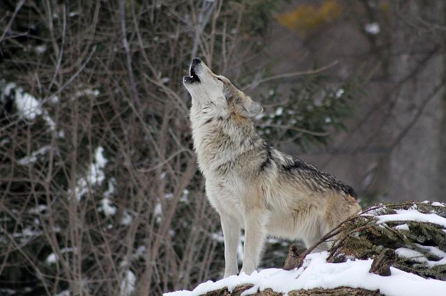 オオカミ 懐く つがい 目の色 夜行性