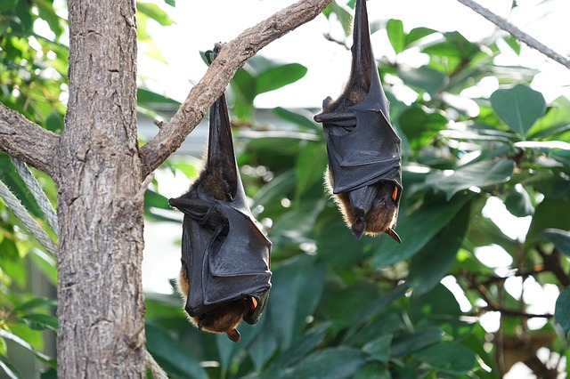 沖縄 オオコウモリ 大きい 絶滅危惧種 最大 サイズ
