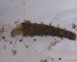 トビケラ 幼虫 種類 大きさ 巣 特徴