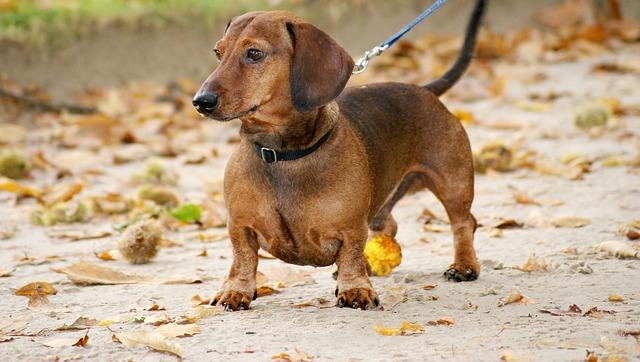 dachshund2