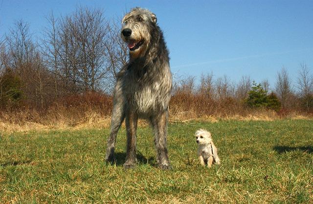 Irish wolfhound+chiwapoo