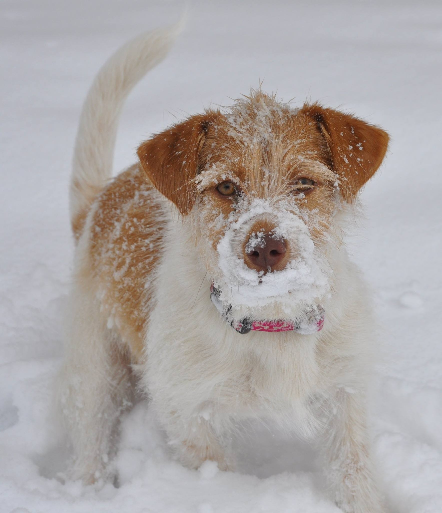 Wire Hair Fox Terrier Adoption