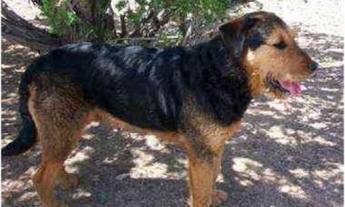 Santa Fe, NM - Airedale Terrier. Meet Magus a Pet for Adoption.