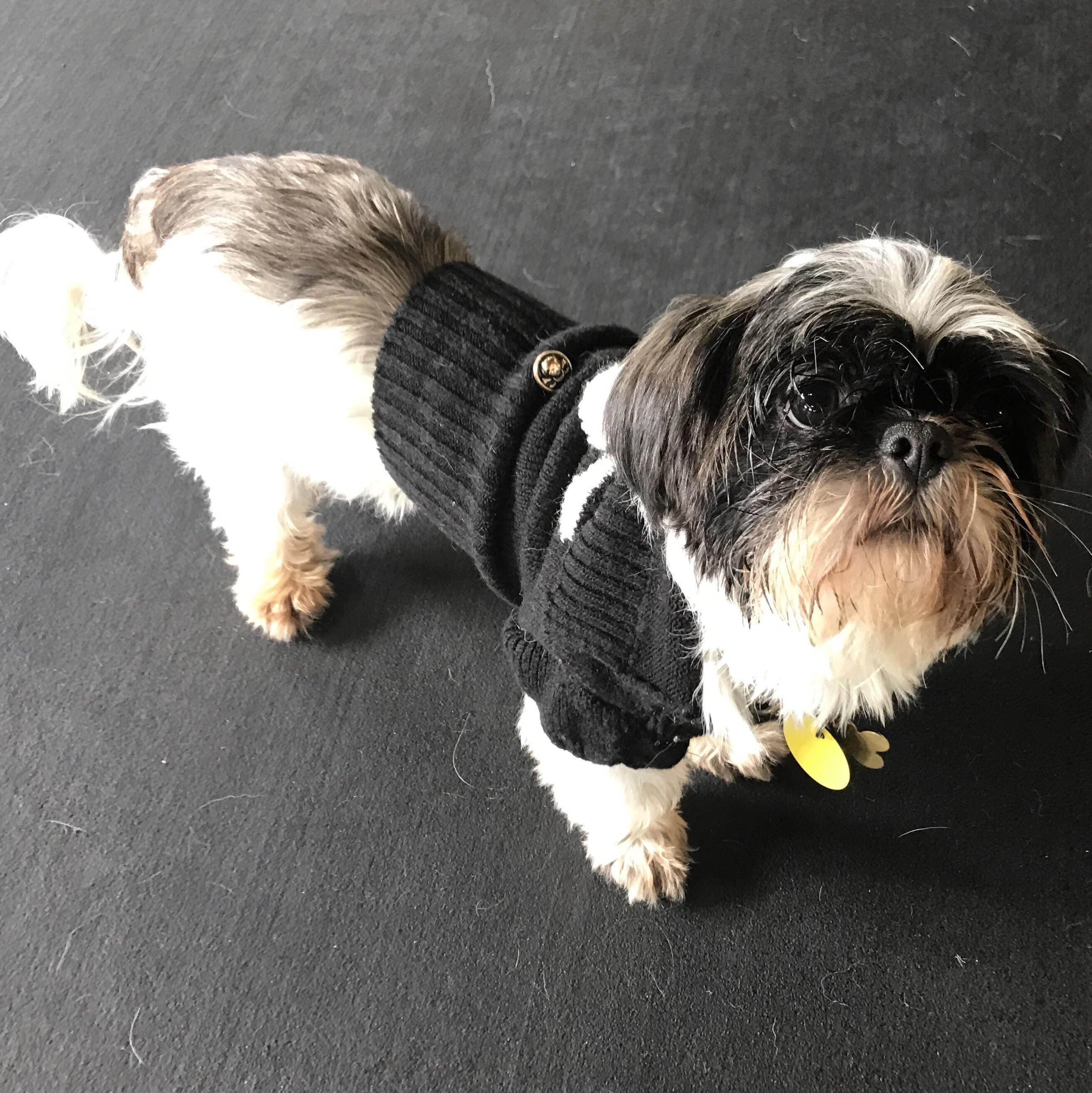 Santa Monica CA Shih Tzu Meet BOGEY a Dog for Adoption