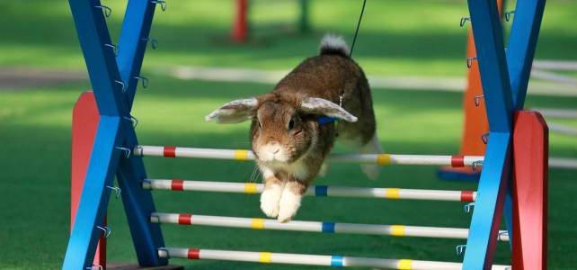 VIDEO: Bunny Agility Olympics