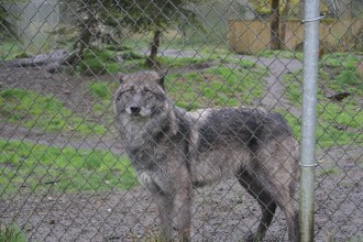 Some of the wolves at the facility had dog in them. Our wonderful tour guide, Cindy told us that you can tell dogs and wolves apart by looking at their chest and their legs. Wolves have very narrow chests and legs with giant paws. Dogs will have a wider chest.