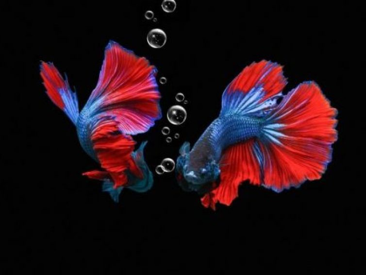 How To Take Care of a Baby Betta Fish   Best Guide 2021