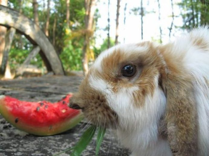 can rabbits eat watermelon