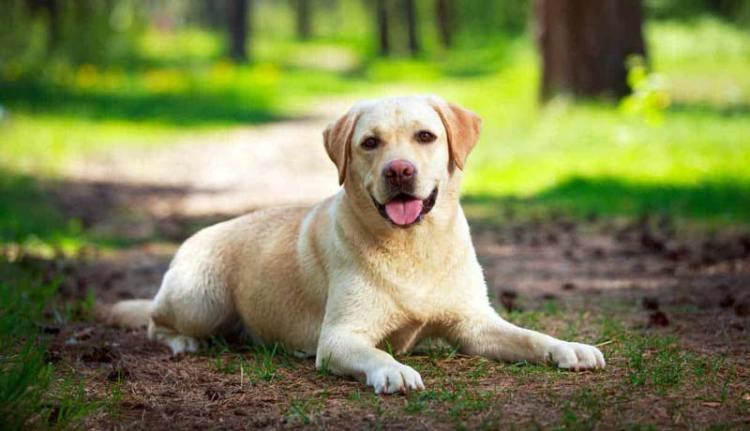 Labrador Retriever: Scheda della razza [Guida Ufficiale]