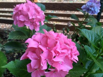 picture of pink Hydrangea