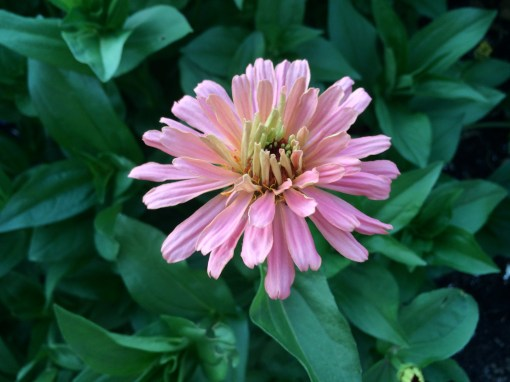 picture of Zinnia