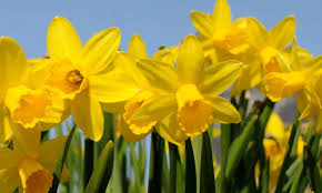 picture of yellow Daffodils