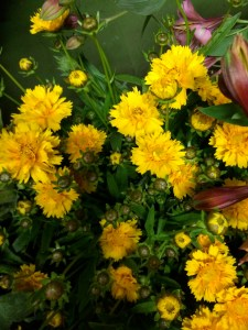 picture of Coreopsis