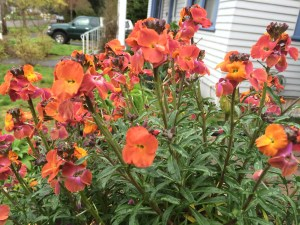 picture of Wallflower