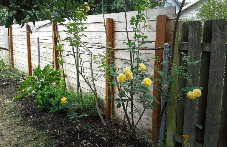 picture of yellow roses growing in alleyway