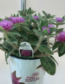 Gomphrena Pink Zazzle - image courtesy of J. Shepard
