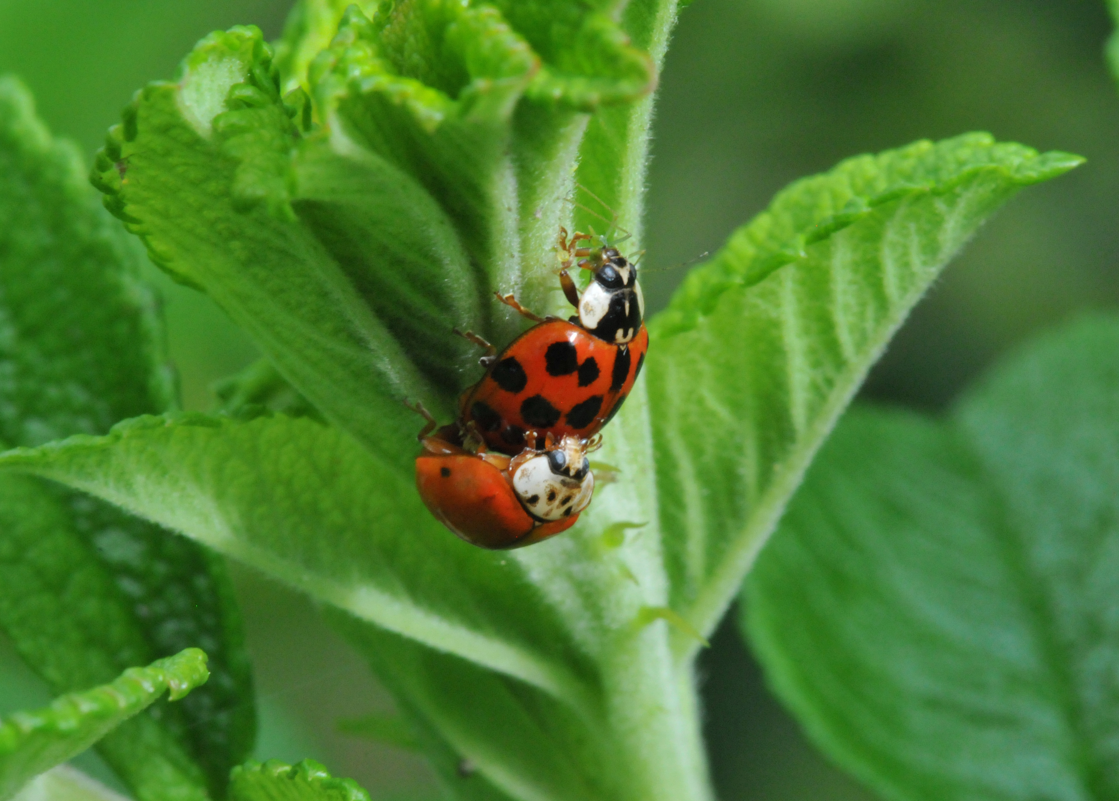 Lady Bug Petals And Wings