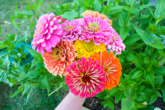 5 Tips For Growing Amazing Zinnias Petals Pies And Otherwise