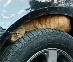 cat under car tire