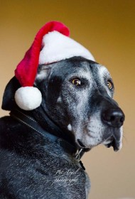 Pet Angel photographed Great Dane Tucker as Santa Claws
