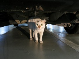 meu gato fugiu carro