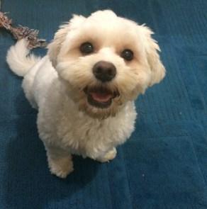 melhores raças de cachorro para apartamento - maltes