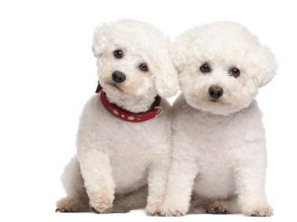 melhores raças de cachorro para apartamento - poodel