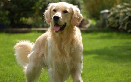 golden retrievier