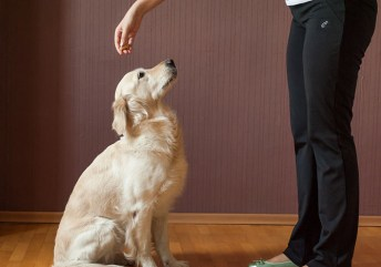 ensinar o seu cachorro a sentar 5