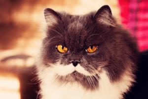 Origem gato persa