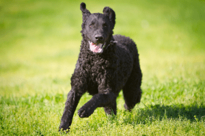 Curly Coated Retriever Brasil