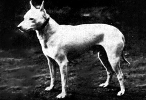 Old White English Terrier e jack russell terrier